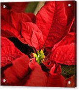 Red Poinsettia 2 Acrylic Print