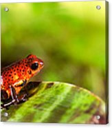 Red Poison Dart Frog Acrylic Print