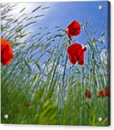Red Poppies And Blue Sky Acrylic Print