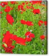 Red Poppies Flowers In Field Acrylic Print