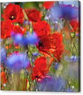 Red Poppies In The Maedow Acrylic Print