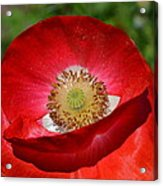 Red Poppy 3 Acrylic Print