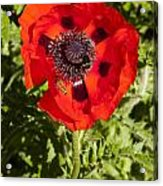 Red Poppy And Bee Acrylic Print