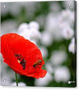 Red Poppy And The Bee Acrylic Print