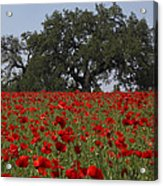 Red Poppy Field Acrylic Print