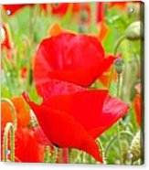 Red Poppy Flowers Art Prints Floral Acrylic Print