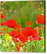 Red Poppy Flowers Meadow Art Prints Acrylic Print