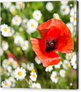 Red Poppy With Daisies On Flower Meadow Acrylic Print