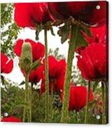 Red Poppy's Acrylic Print