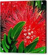 Red Powder Puff Acrylic Print