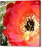 Red Prickly Pear Blossom Acrylic Print
