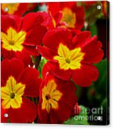 Red Primroses Acrylic Print