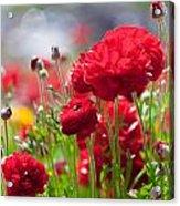 Red Ranunculus Acrylic Print