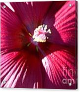 Red Red Acrylic Print