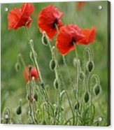 Red Red Poppies 2 Acrylic Print