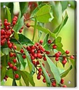 Red Ripe Berries Acrylic Print