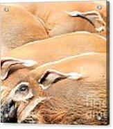 Red River Hogs Potamochoerus Porcus Acrylic Print