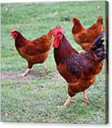 Red Rooster And Hens Acrylic Print