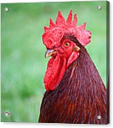Red Rooster Portrait Acrylic Print