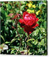 Red Rose. Acrylic Print