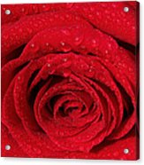 Red Rose And Water Drops Acrylic Print