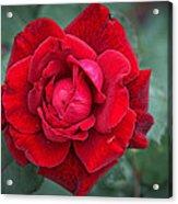Red Rose Acrylic Print