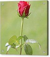 Red Rose Bud 1 Acrylic Print