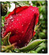 Red Rose Bud With Water Drops Acrylic Print
