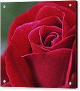 Red Rose Close 1 Acrylic Print