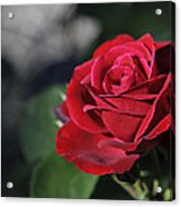 Red Rose Dark Acrylic Print by Roger Snyder