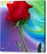 Red Rose Delight Acrylic Print