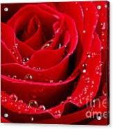 Red Rose Acrylic Print by Elena Elisseeva