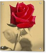 Red Rose Flower Isolated On Sepia Background Acrylic Print