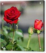 Red Rose Flower Acrylic Print