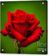 Red Rose Green Background Acrylic Print
