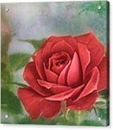 Red Rose II Acrylic Print
