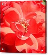 Red Rose In Full Bloom Acrylic Print