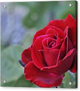 Red Rose Light Acrylic Print by Roger Snyder