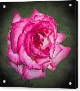 Red Rose Acrylic Print