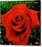 Red Rose On Green Acrylic Print
