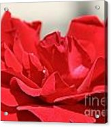 Red Rose Red Rose Acrylic Print