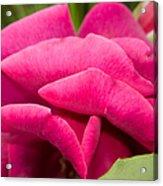 Red Rose Rising Acrylic Print