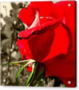 Red Rose #2 Acrylic Print