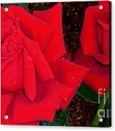 Red Rose Twins  Acrylic Print