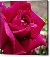 Red Rose Up Close Acrylic Print