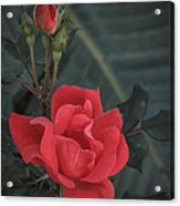 Red Rose With Bud Acrylic Print