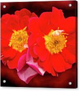 Red Roses Heart Acrylic Print