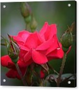 Red Rose 14-1 Acrylic Print