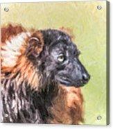 Red-ruffed Lemur Acrylic Print