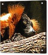 Red Ruffed Lemur Acrylic Print